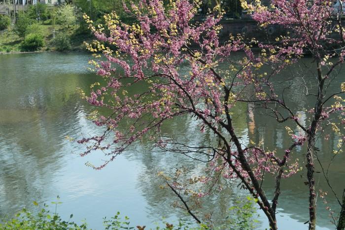 Düsseldorf Teich Baum pink